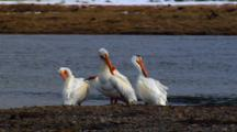 American White Pelicans Groom During Mating Season