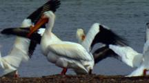 American White Pelican Has Raised Bump On Beak During Mating Season