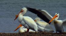 American White Pelicans Flap Wings And Expose Throat Pouch During Breeding Season