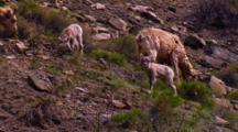 Bighorn Sheep Lamb Digs And Grazes