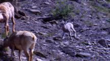 Bighorn Sheep Lamb Runs Toward Ewes At Dusk