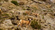 Bighorn Sheep Lambs Jump And Explore Steep Slope
