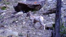 Bighorn Sheep Lamb Walks At Dusk