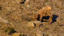 Bighorn Sheep Lamb Lifts Back Leg To Mouth And Lies On One Leg