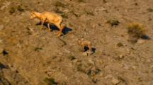 Bighorn Sheep Family Ascends Rocky Slope