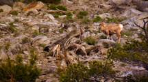 Six Bighorn Sheep Lambs Explore Rocky Slope With Ewe Nearby