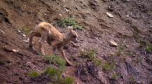 Bighorn Sheep Lamb Carefully Navigates Steep Slope