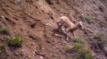 Bighorn Sheep Lamb Explores Rocky Slope