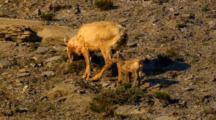 Bighorn Sheep Lamb Trails Behind Ewe