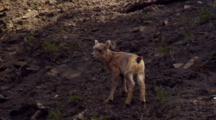 Bighorn Sheep Lamb On Steep Slope