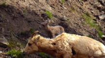 Bighorn Sheep Lamb Stumbles On Rocky Slope And Goes To Ewe