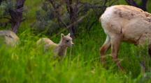 Bighorn Sheep Lamb In Spring