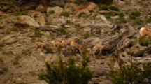 Six Bighorn Sheep Lambs Play On Rocky Slope