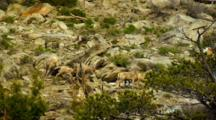 Bighorn Sheep Lambs Stumble Around Boulders On Slope