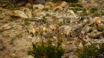 Rock Tumbles Down Rocky Slope As Six Bighorn Sheep Lambs Play