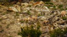 Bighorn Sheep Lambs Butt Heads And Paw At Each Other  On Rocky Slope