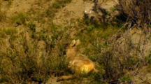 Bighorn Sheep Lamb Paws At Ground And Lies Down