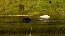 Black Bear Swims In Yellowstone National Park Pond