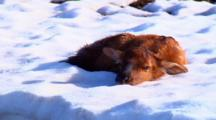 Newborn Elk Calf Remains Still On Snow
