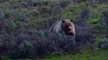 Grizzly Bear Chews Vegetation And Observes