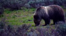 Grizzly Bear Pulls Vegetation From Ground