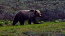 Grizzly Bear Looks For Food In Grand Teton National Park