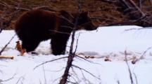 Grizzly Bear Investigates Snow