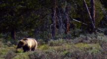 Grizzly Bear Inspects Grand Teton National Park