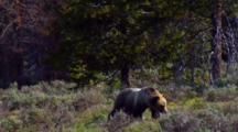 Grizzly Bear Strides Through Lush Grand Teton National Park