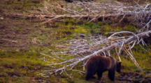 Grizzly Bear Walks Through Grassy Landscape