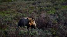 Grizzly Bear Observes Grand Teton National Park
