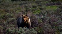 Grizzly Bear Senses Surroundings In Grand Teton National Park