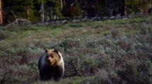 Grizzly Bear Prowls Grand Teton National Park
