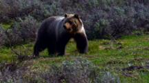 Grizzly Bear Carefully Surveys And Retreats In Grand Teton National Park