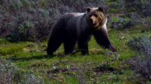 Grizzly Bear Distracted In Grand Teton National Park