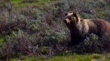 Grizzly Bear Surveys Surroundings And Backs Off