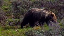 Grizzly Bear Prowls For Food In Grand Teton National Park