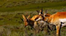 Pronghorn Antelope In Grassy Field