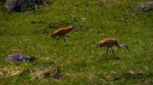 Sandhill Cranes Strut In Yellowstone National Park
