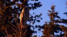 Owl Roosting In Tree