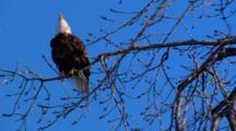 Bald Eagle Perched on Tree Branch, Vocalizes