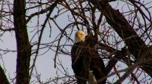 Bald Eagle Raptor Perched On Tree Vocalize