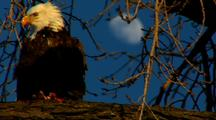 Bald Eagle Raptor Perch In Tree Feeds On Fish