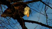 Bald Eagle Raptor Perch In Tree Feeds On Dangling Fish