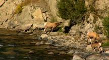 Bighorn Sheep Feed & Drink Gardner River In Yellowstone National Park