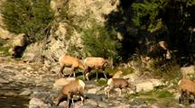 Bighorn Sheep Walk Along Drink Gardner River In Yellowstone National Park