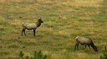 Rut Elk Behavior Central Plateau Yellowstone National Park