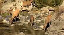 Bighorn Sheep Drink Get Startled Gardner River In Yellowstone National Park
