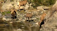 Bighorn Sheep Drink Get Startled Gardner River In Yellowstone National Park