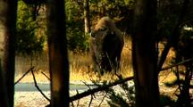 Bison Bull Stand Stare Chew in Woods Thermal Area Yellowstone National Park